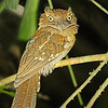 ...to a Gould's Frogmouth...