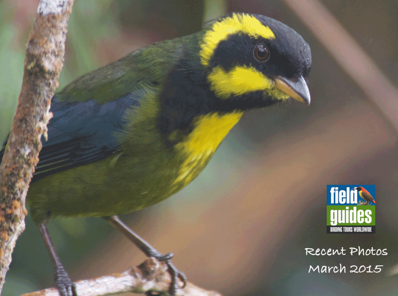 We kick off this March 2015 gallery from recent Field Guides tours with a greeting from the lovely Gold-ringed Tanager, a Colombian endemic restriced to the west slope of the Andes. Participant Fred Dalbey grabbed this pic on our Colombia: The Cauca Valley, Western & Central Andes tour guided by Richard Webster.