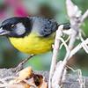 Santa Marta Brush-Finch-TW