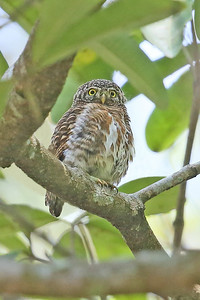 It was a good tour for nightbirds, from this Collared Owlet...