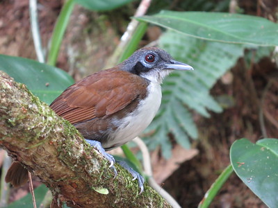 The group had fantastic views of Bicolored Antbird, as this image by participant Danny Shelton shows.