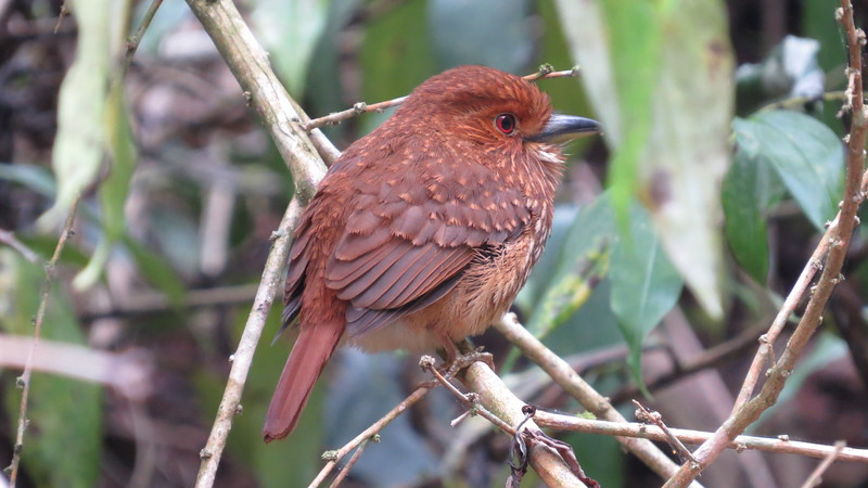 A male White-whiskered Puffbird, richly rufous (Photo by participant Danny Shelton)
