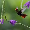 Ruby-topaz Hummingbird (adult male)