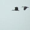 White-shouldered Ibis Feb 15 - 08