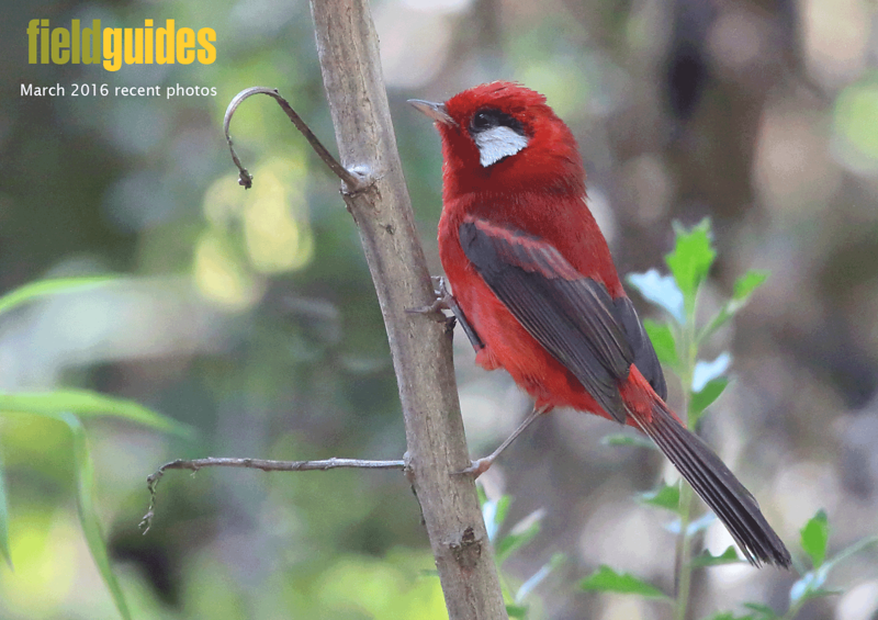 We begin this month's gallery with Oaxaca tour participant Timothy Skillin's photo of Red Warbler, a fabulously eye-catching resident of the pine-oak forest of this part of Mexico.