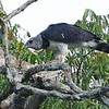 Another certain highlight this year was our view of this magnificent Harpy Eagle near its nest in Guyana! Photo by participant Brian Stech.