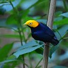 This Golden-headed Manakin from Guyana is a close relative of the Red-capped shown earlier. Photo by participant Brian Stech.