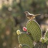 A Curve-billed Thrasher punctuates an Opuntia cactus. Photo by participant Ron Majors.