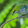 It's rare to get a view from this angle of a Speckled Tanager, since they primarily forage for fruit and insects in the canopy. Photo by guide Cory Gregory.