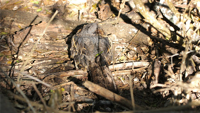 Look carefully -- there is a marvelously camouflaged Common Pauraque on the ground here. Photo by participant John Berry.