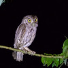 A night outing produced excellent looks at Pacific Screech-Owl, told from Tropical Screech-Owl by the fainter dark border to the facial disk and by voice. Photo by guide Cory Gregory.