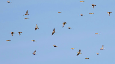 Here is a bounding flock of Chestnut-collared Longspurs in their winter plumage. Photo by guide Tom Johnson.