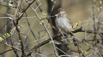 Rufous-winged Sparrow is a regional specialty we reliably find in thorny places. Photo by participant Jonathan Slifkin.