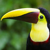 My, what an impressive bill you have: Yellow-throated Toucan. Photo by guide Cory Gregory.