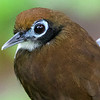 Many antbirds, such at this Bicolored, have interesting, almost expressive faces. Photo by guide Cory Gregory.