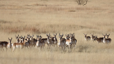 Don't call them antelopes! Pronghorns are the fastest land animals in the Western Hemisphere, and their closest living relatives are giraffes. We certainly seem to have the attention of this herd. Photo by participant Jonathan Slifkin.