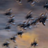 Guide Tom Johnson put his artistic bent to work in this image of Yellow-headed Blackbirds in the same flock.