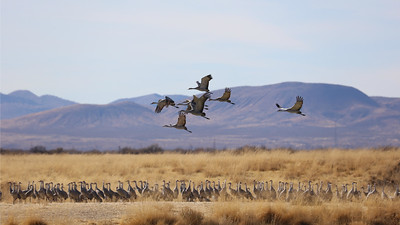 Arizona is a major wintering site for migratory Sandhill Cranes. Photo by participant Jonathan Slifkin.