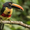 Participant Kevin Heffernan shared this outstanding photo of a Fiery-billed Aracari, a species with a very limited range.