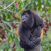 This bellowing Mantled Howler Monkey seems to have himself all tied up. Photo by guide Cory Gregory.