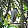 Perhaps guide Willy Perez was pointing to this bizarre Boat-billed Heron tucked in on its day roost. Photo by guide Willy Perez.