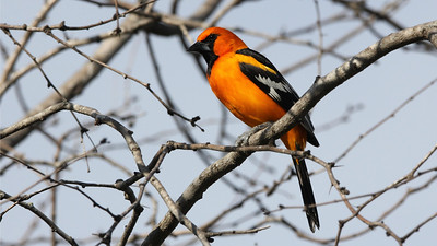 Next up is a set of images from a special tour we put together for the Maine Audubon Society to South Texas. To see a gorgeous Altamira Oriole in the U.S., you have go to the Rio Grande Valley, at the northern edge of this species' range. Photo by participant John Berry.
