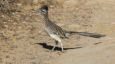 Numerous cuckoo species around the world frequent the ground but Greater Roadrunner is the only ground-dwelling cuckoo whose range reaches the United States. Photo by participant John Berry.