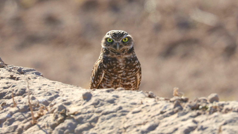 Burrowing Owl. Photo by participant Jonathan Slifkin.