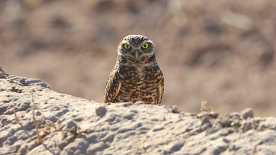 Participant Jonathan Slifkin also shared this wonderful image of a Burrowing Owl with a penetrating stare.