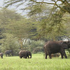 We came across this herd of African Elephants foraging among acacia trees. Photo by guide Terry Stevenson.