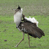"""Let's move across the Atlantic to Africa and a collection of images from out """"East Africa Highlights: Kenya & Tanzania"""" tour. The flared neck feathers and the upturned tail exposing the brilliant white undertail coverts indicate this Kori Bustard is in full display. Photo by guide Terry Stevenson."""