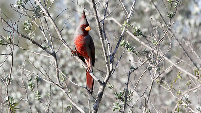 The elegant Pyrrhuloxia is undeniably a member of the Cardinalis genus. Photo by participant John Berry.