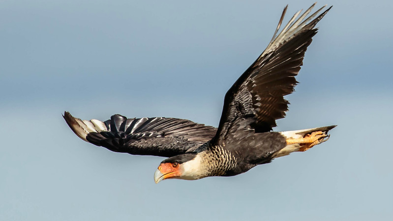 Participant Kevin Heffernan captured this dramatic Crested Caracara.