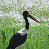 Thanks to exceptionally long legs, the Saddle-billed Stork stands roughly five feet tall, making it one of the tallest bird species in the world. Photo by participant Craig Caldwell.