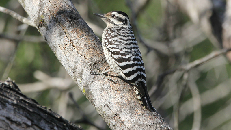 This female Ladder-backed Woodpecker lacks the red crown found on the males. Photo by participant John Berry.