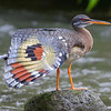Sunbittern is an interesting bird at rest, but when it spreads its wings to show off that panel...oh my! This dramatic image from guide Cory Gregory kicks off the next set of images from Part Two of our Costa Rica: Birding the Edges tour.