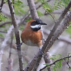 "White-whiskered Spinetail near Camarones in the Santa Marta area: this beautiful spinetail is a regional specialty of northeastern Colombia and northwestern Venezuela. <div id=""caption_tourlink"" align=""right""> [Photo © guide Jesse Fagan]</div>"