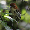 """...and a couple days of birding can be very rewarding.  One prize might be an accommodating Chestnut-crowned Anpitta. <div id=""""caption_tourlink"""" align=""""right""""> [Photo © guide Richard Webster]</div>"""