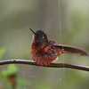 """This Chestnut-breasted Coronet was catching a bath... <div id=""""caption_tourlink"""" align=""""right""""> [Photo © guide Richard Webster]</div>"""