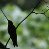 """Welcome! This month: images from Field Guides tours to Thailand, Colombia, Oman & the UAE, Western Mexico, and one of our favorite destinations, Ecuador, perhaps perfectly illustrated by this Sword-billed Humminbird in silhouette. <div id=""""caption_tourlink"""" align=""""right""""> [Photo © guide Richard Webster]</div>"""