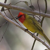 "...to a lovely Red-headed Tanager on Cerro San Juan... <div id=""caption_tourlink"" align=""right""> [Photo © guide Jesse Fagan]</div>"