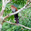 """Squirrel Cuckoos are fairly common and widespread, and lovely in their own right as is evident from this image by Rachel. <div id=""""caption_tourlink"""" align=""""right""""> [Photo © participant Rachel Hopper]</div>"""