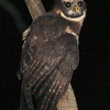 """A visit to Wildsumaco wouldn't be complete without a little night-birding for a variety of species: this Band-bellied Owl was a nice prize on a calm evening with a bright full moon on our holiday trip. <div id=""""caption_tourlink"""" align=""""right""""> [Photo © guide Richard Webster]</div>"""