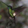 """It's best known for the variety of hummingbirds to be seen. One of the regulars is this Buff-winged Starfrontlet, one of seven closely related hummers found the length of the Andes. <div id=""""caption_tourlink"""" align=""""right""""> [Photo © guide Richard Webster]</div>"""