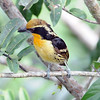 """And here's a male Gilded Barbet, whose two-note call is one of the characteristic sounds of this rainforest. <div id=""""caption_tourlink"""" align=""""right""""> [Photo © participant Rachel Hopper]</div>"""