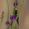 """Less common ones include such highlights as Wire-crested Thorntail. Our group spotted this fabulous male visiting the lodge's patch of purple vervain. <div id=""""caption_tourlink"""" align=""""right""""> [Photo © guide Richard Webster]</div>"""