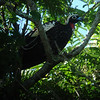 One of the birds of the trip: a Black-fronted Piping-Guan (or Jacutinga locally). This one nearly allowed us to walk underneath it without revealing itself. Thankfully, a sharp-eyed participant caught it in the act! (Photo by guide Dan Lane)
