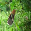 A Little Cuckoo looking a little cuckoo... (Photo by guide Dan Lane)