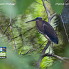 Welcome to our March 2011 gallery of recent images from Field Guides tours received from our participants and guides. This month's opener: participant Tom Delaney's photo of an immature Agami Heron photographed at Summit Ponds on one of our recent Panama's Canopy Tower tours. Enjoy the show!