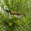 Australia is the land of honeyeaters, and the distinctive Blue-faced is among the larger species. (Photo by participant Marshall Dahl)